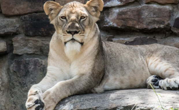image of lion at the Fort Worth Zoo
